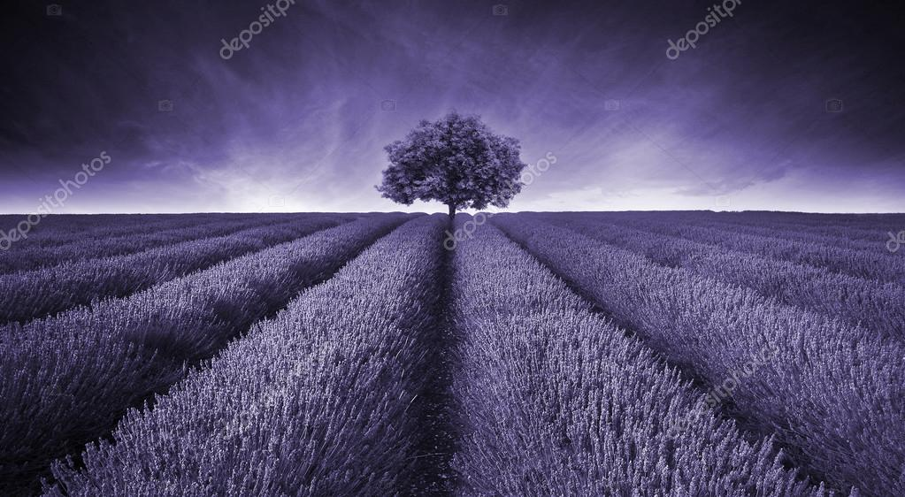 Beautiful image of lavender field landscape with single tree ton