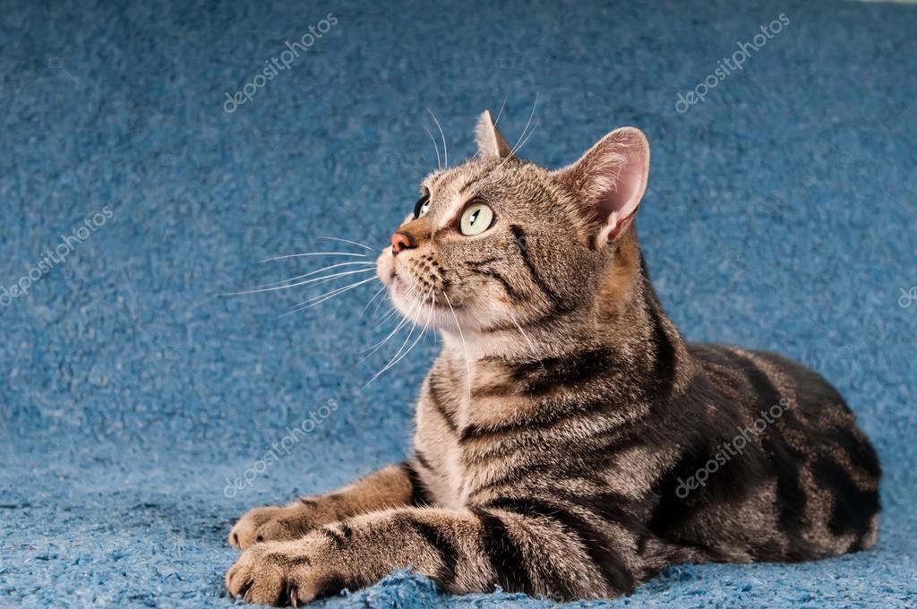 Gatto Americano A Pelo Corto Foto Stock Grase 82078774