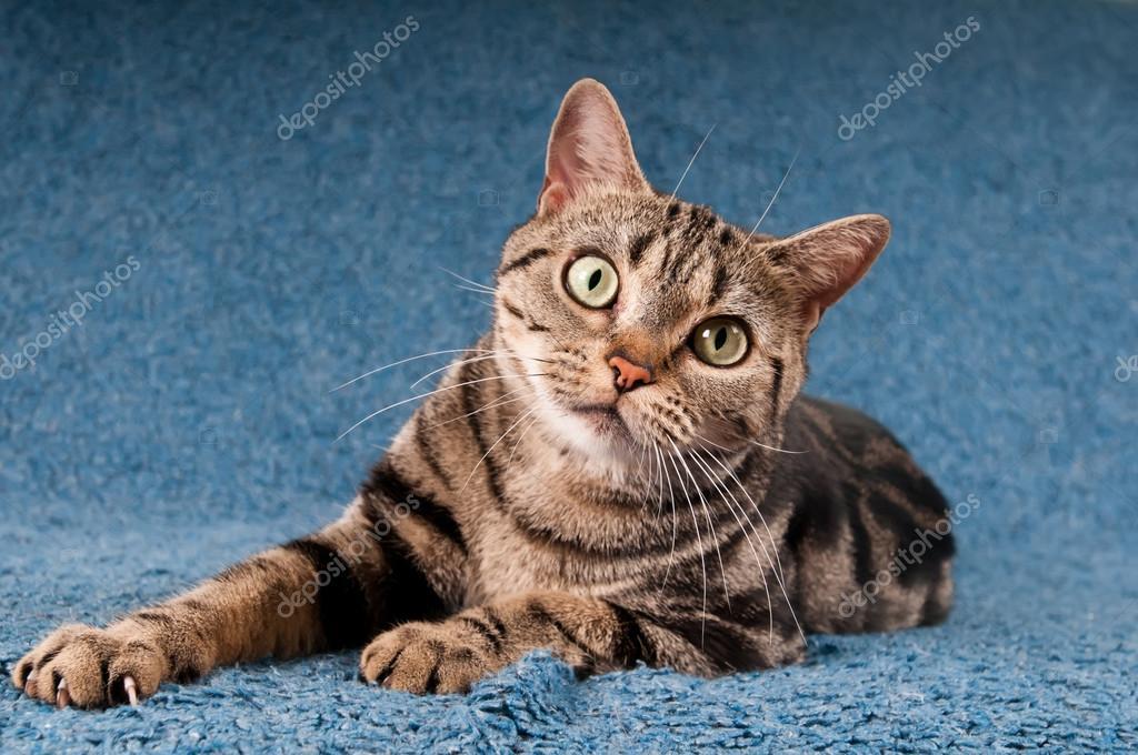 Kot Amerykański Krótkowłosy Zdjęcie Stockowe Grase 82078944