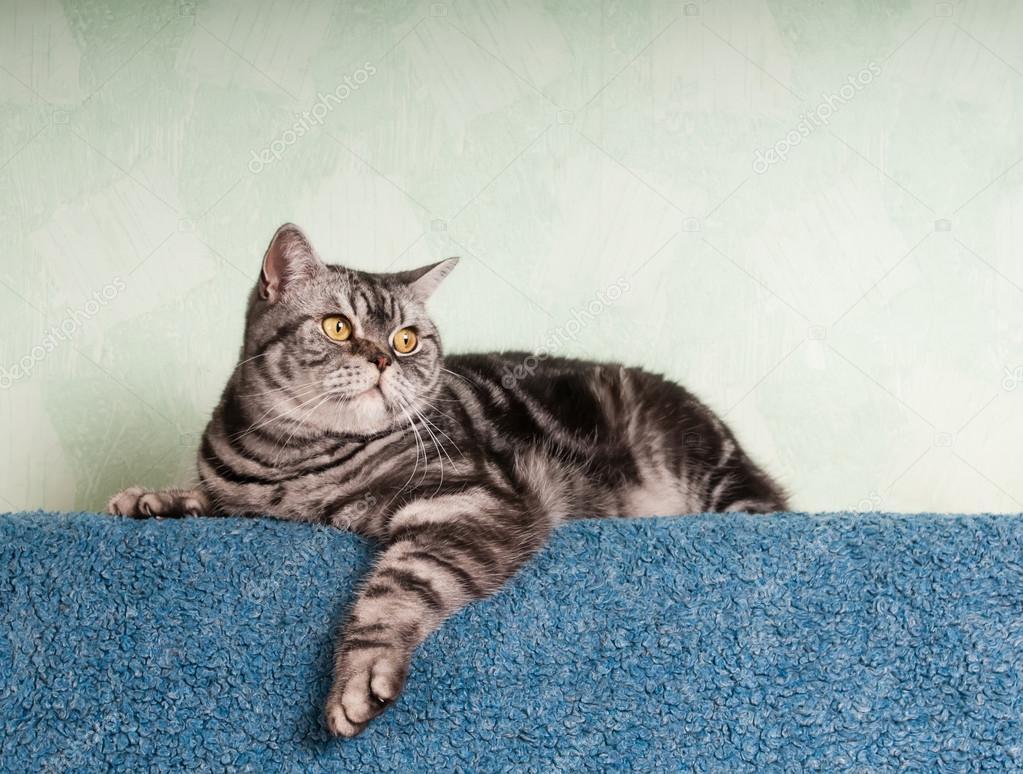 Kot Amerykański Krótkowłosy Zdjęcie Stockowe Grase 82079054