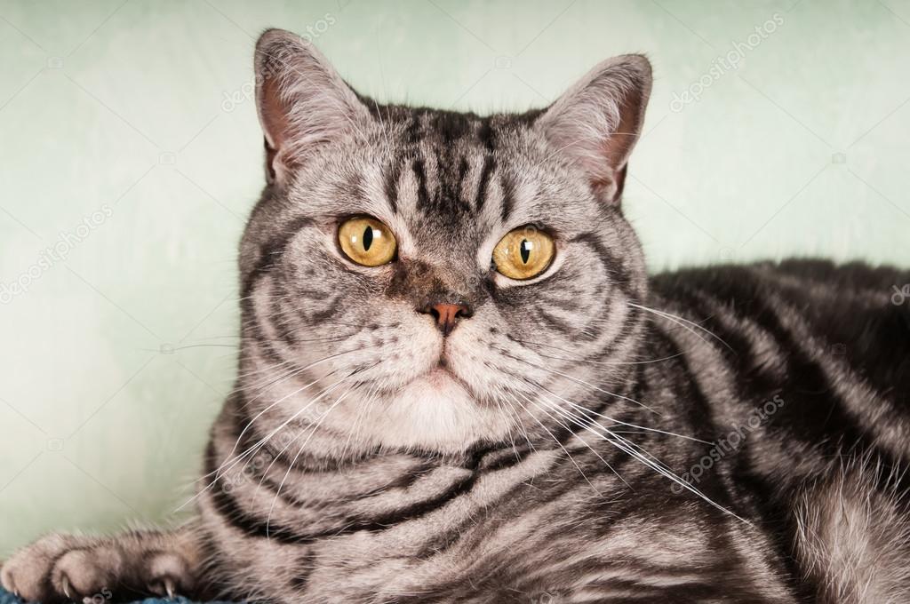 Kot Amerykański Krótkowłosy Zdjęcie Stockowe Grase 82079162