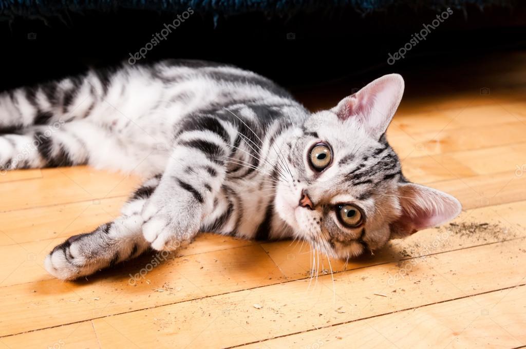 Kot Amerykański Krótkowłosy Zdjęcie Stockowe Grase 82079260