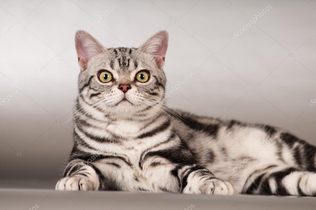 Rasowe Zwierzę Kot Amerykański Krótkowłosy Portret Zdjęcie