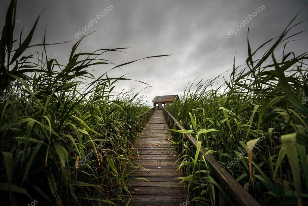 Wooden path trough the reed