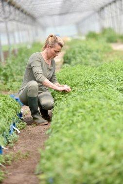Farming worker in greenhouse