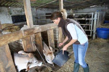 Woman breeder feeding cows in barn