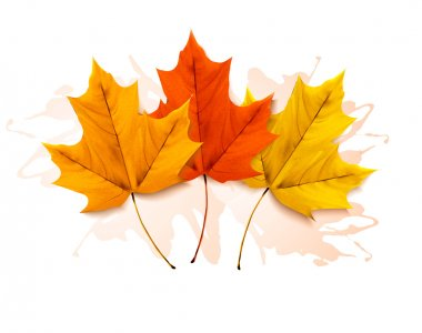 Autumn background with a three colorful leaves. Vector.