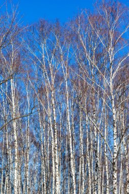 bare birch trees and blue sky