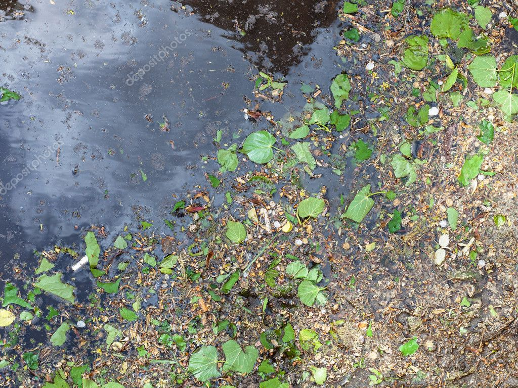 birch leaves, catkins and pollen in puddle