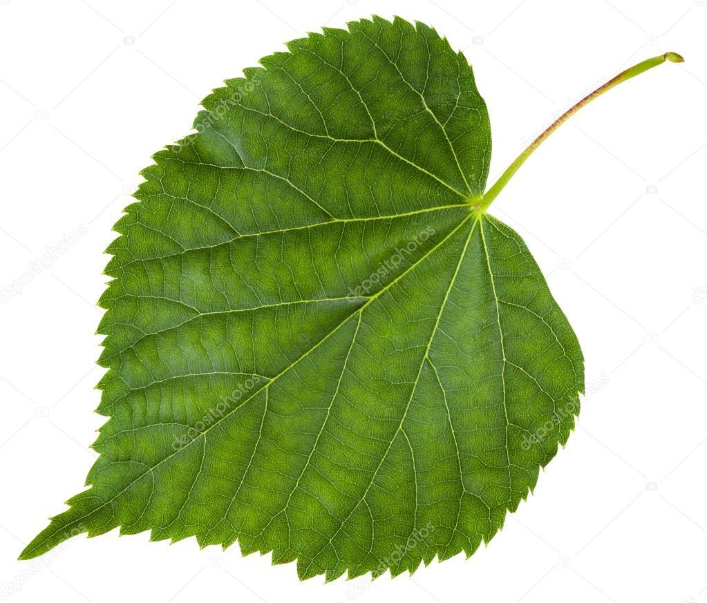 Листья липа в картинках