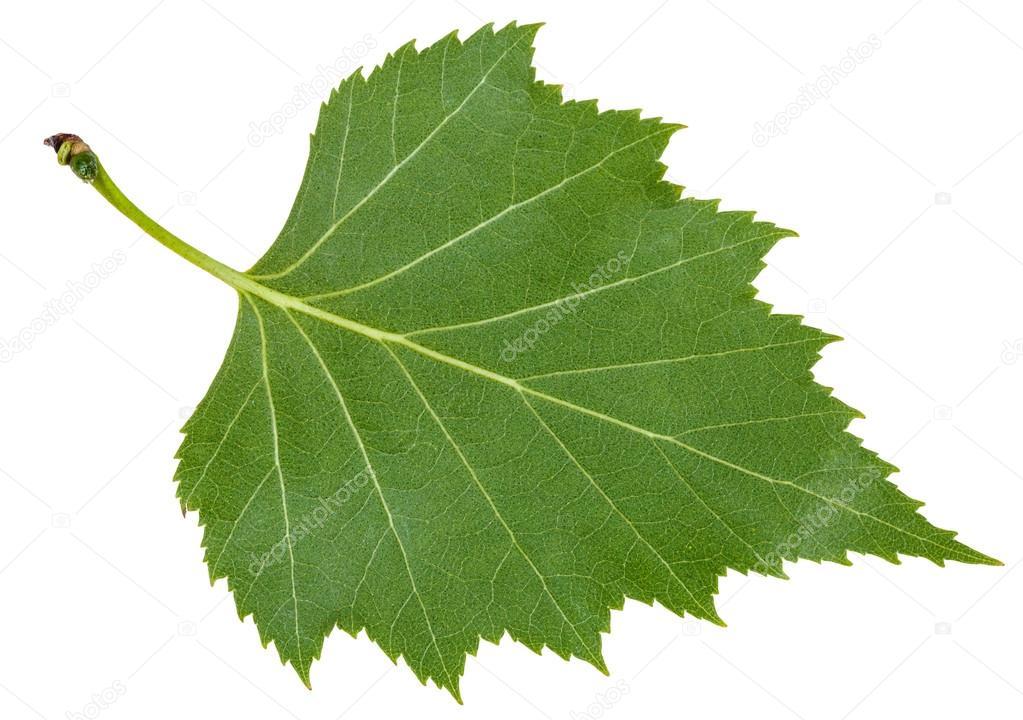 Feuille de dos vert de bouleau arbre isol photographie vvoennyy 113593132 - Feuille de bouleau photo ...