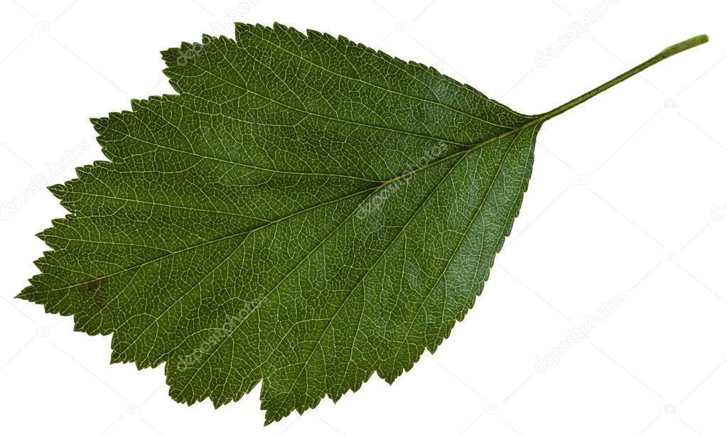 фото лист боярышника