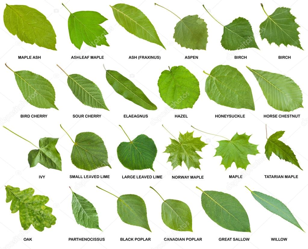 Collection Of Green Leaves Of Trees With Names Stock