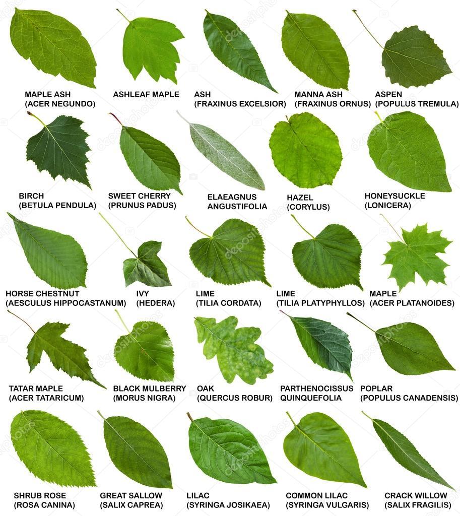 Zielonych Li Ci Drzew I Krzew W Z Nazwy Zdj Cie Stockowe
