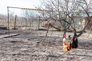 chickens in country backyard gardens in spring