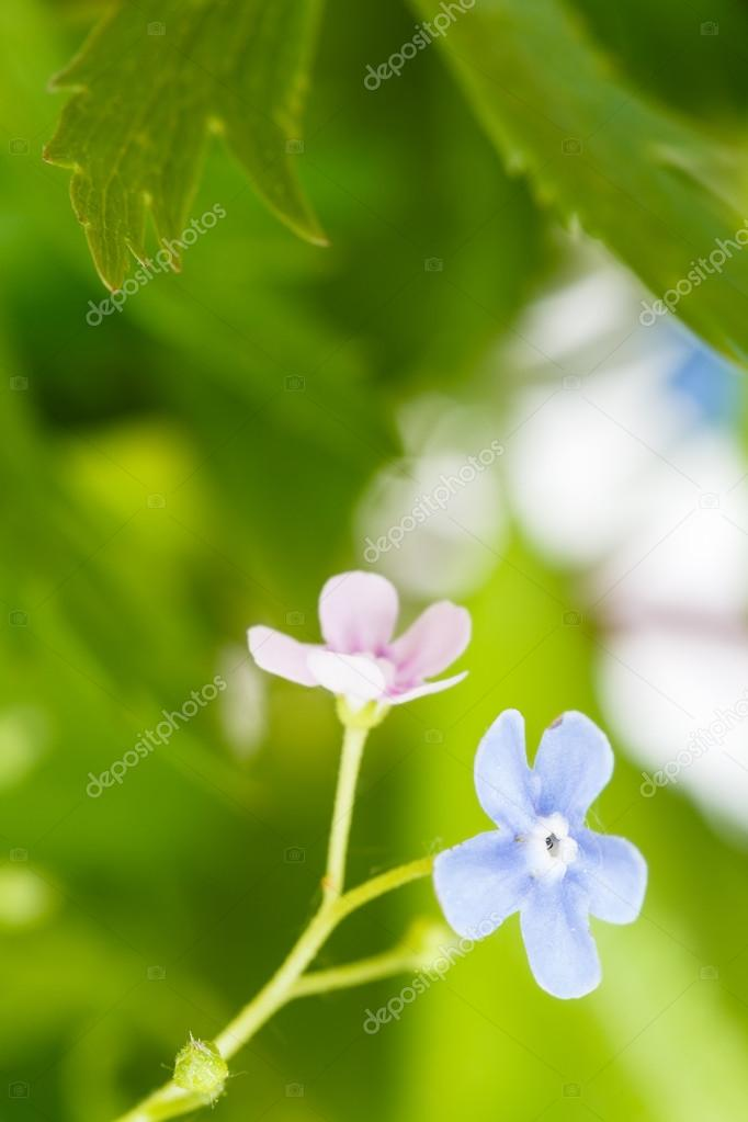 Green grass and blue and pink forget me not flower stock photo green grass and blue and pink forget me not flower stock photo mightylinksfo