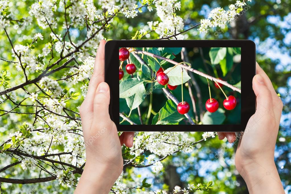 photo of twig with cherry on tree with blossoms