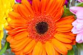orange gerbera flower close up