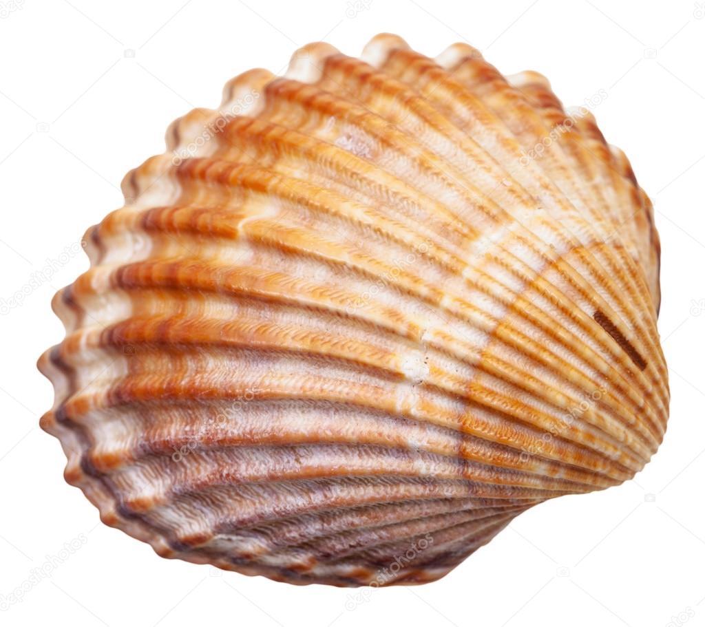 concha de molusco bivalvos aislado en blanco foto de seashells clip art pictures seashell clip art black and white