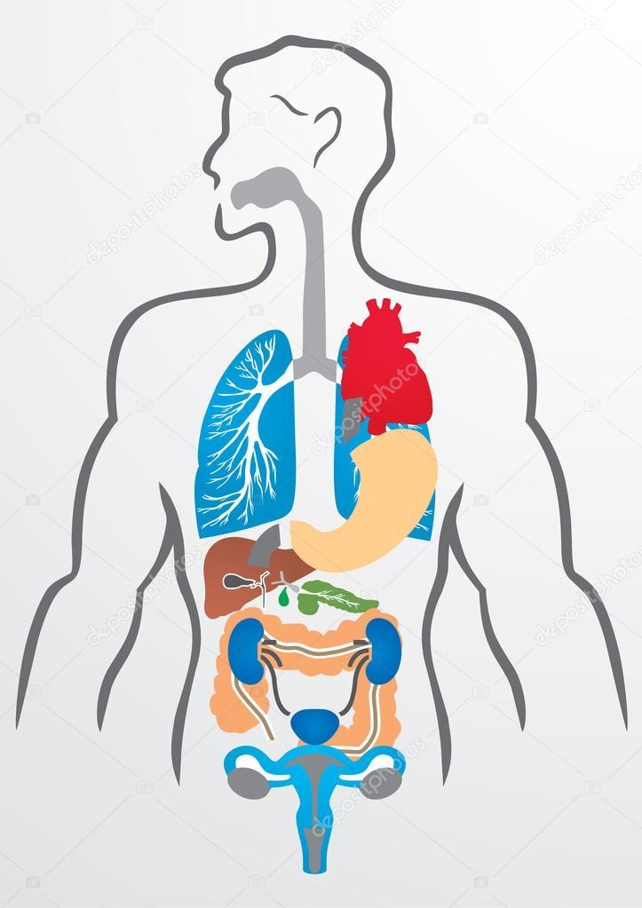 Human organs and human body - Illustration — Stock Vector © Timka ...