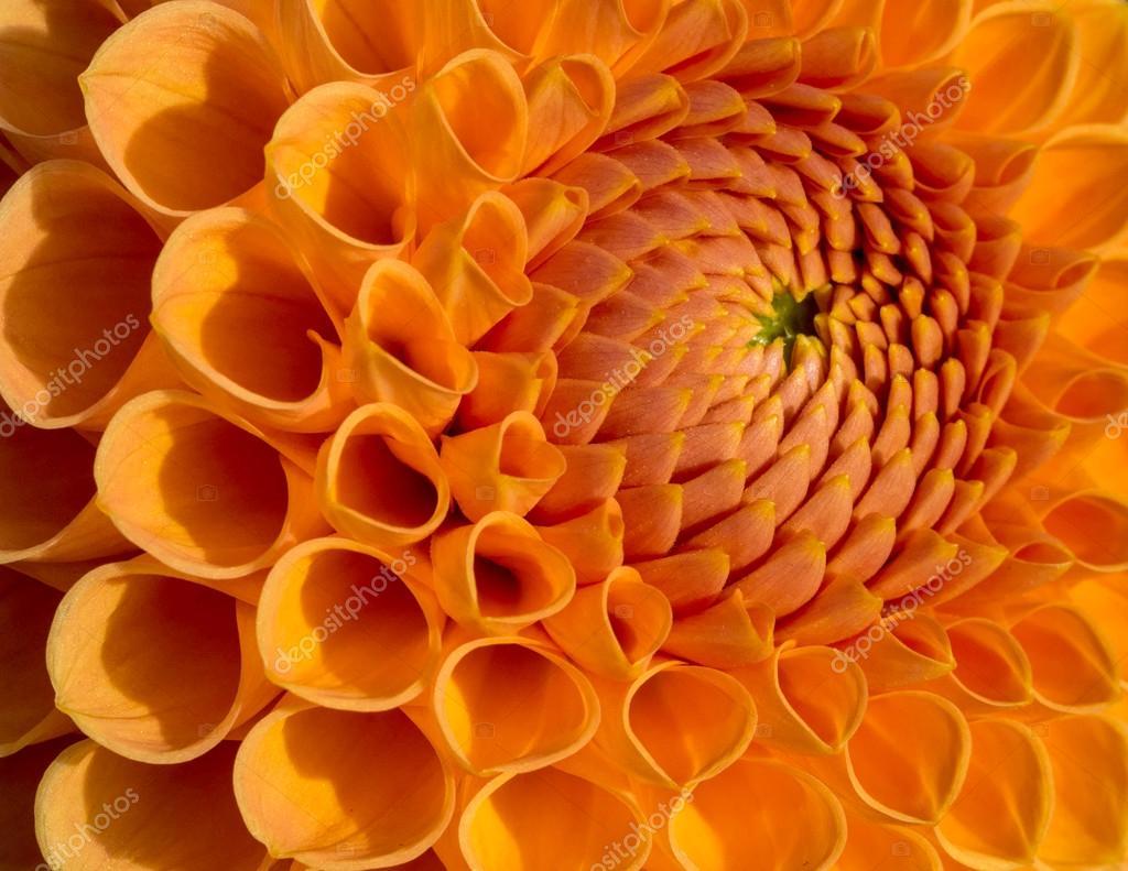 Orange Dahlia Flower Stock Photo Victorburnside 86539718