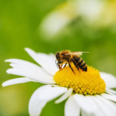 včela na květ