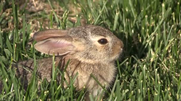 Cute Baby Cottontail Rabbit