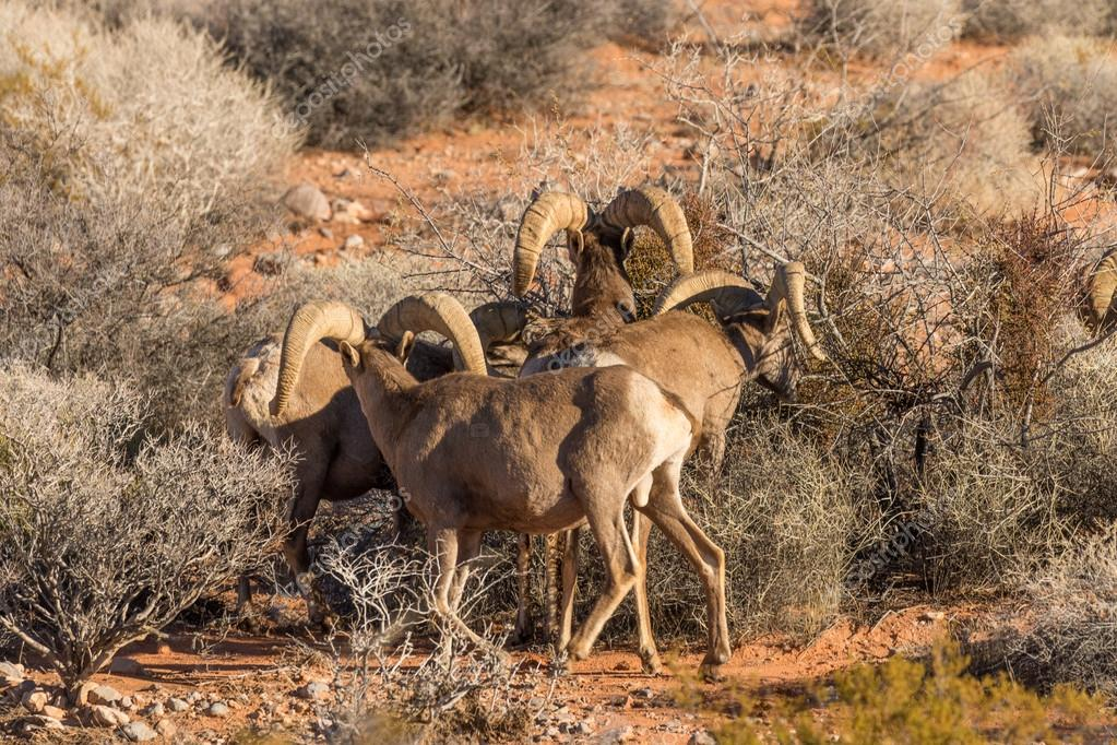 Desert Bighorn Sheep Rams In Nevada Stock Photo C Twildlife 116379188