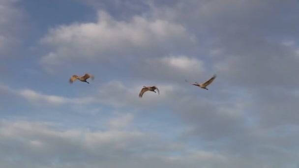 píseční jeřábi v letu