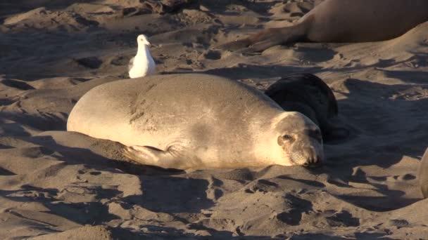 Sloní tuleni na pláži