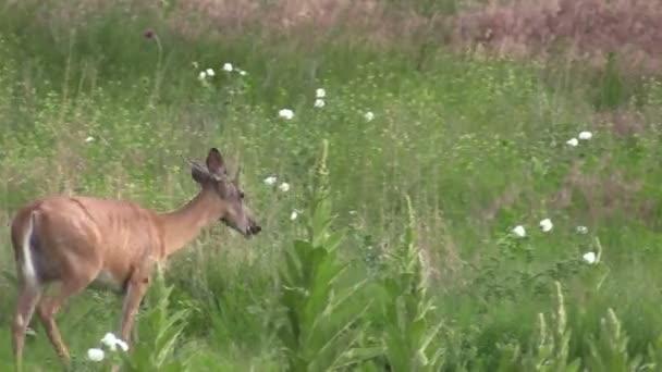 laň jelena Whitetail