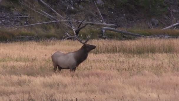 býk elk