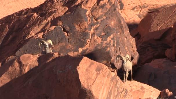 pouštní Bighornu berani