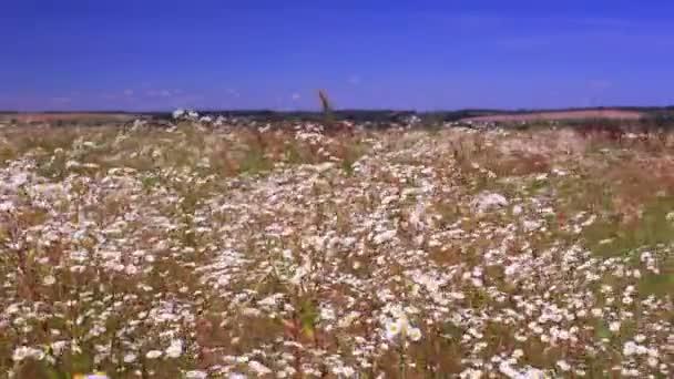 Letní louka s camomiles. Krajina