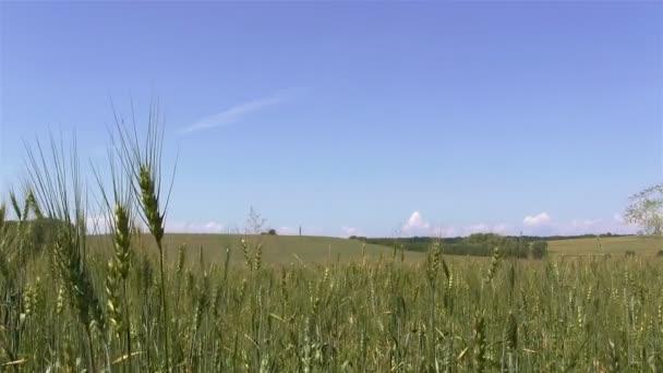 Zelený uši pšenice v poli. Venkovské krajiny