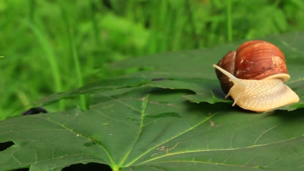 Snail on a green leaf. Real time