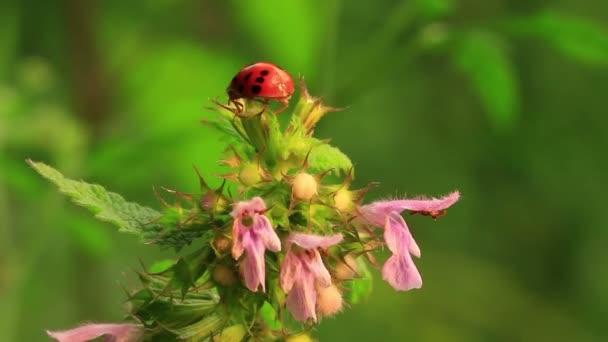 Ladybug on   flower  in spring  . Macro