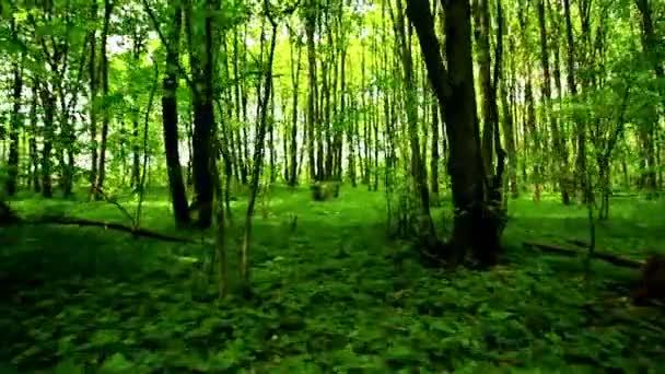 Světle zelené dřevo v den. Stabilizované video.