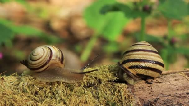 Meeting of two snails. Close up. Time lapse