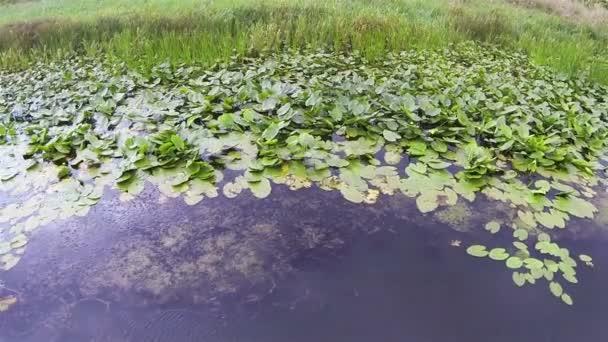 Tó felületén növények. Légi felülnézet