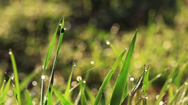 Zelená tráva v poli stonek s kapkou rosy. Krása přírody