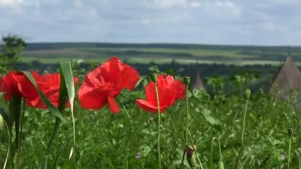 Piros pipacs virágok a szél