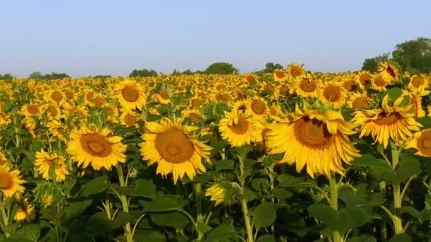 Field with sunflowers. Panorama