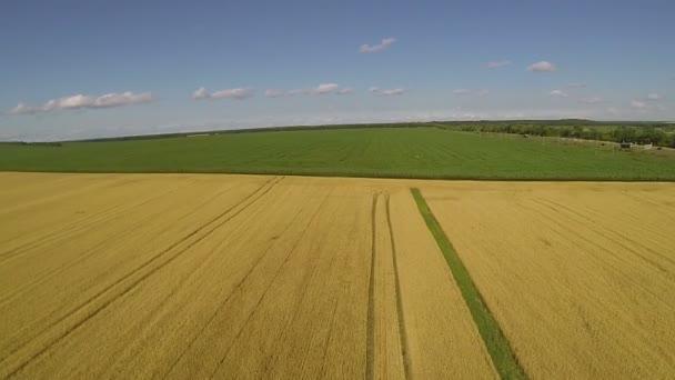 Zářivě žluté pšeničné pole a oblohu s mraky. Anténa na šířku