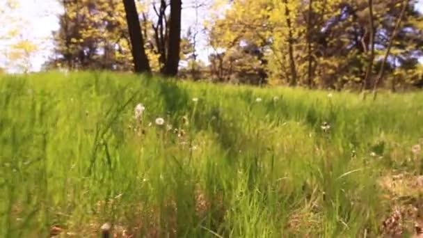 Bright tráva s pampelišky Steadicam hladké záběr