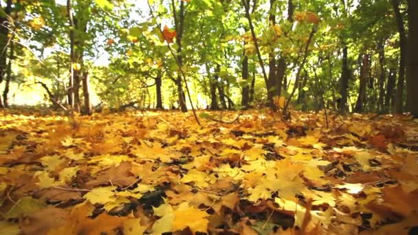 Wonderful  autumn  in  wood with bright leaves. Dolly shot