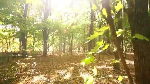 Chůze v slunečné podzimní dřeva. Steadicam shot