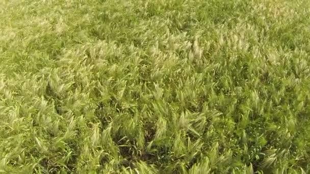 Zpomalený pohyb letu nad pšeničné pole. vzdušný nízká výška: pohled shora