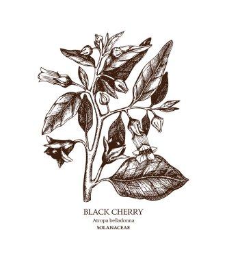 Poisonous plant Atropa belladonna