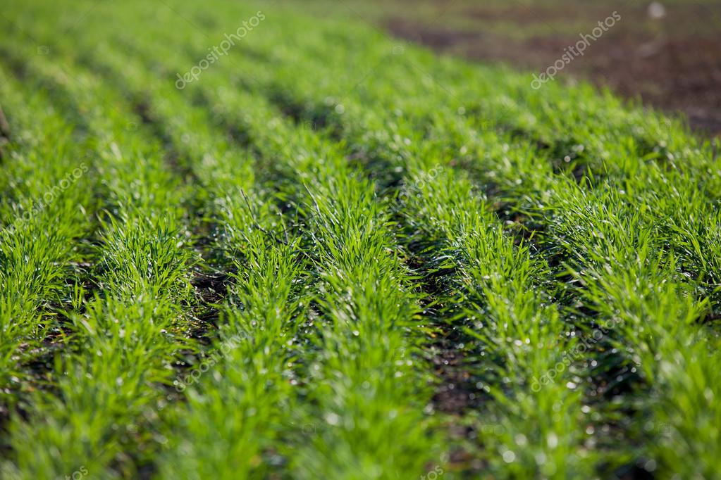 Shoots of winter wheat in rows